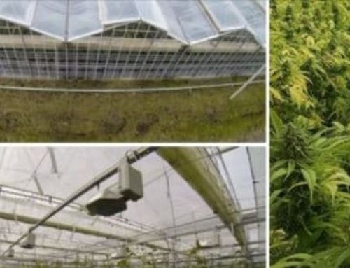 Top Light Greenhouse in MMJ Daily