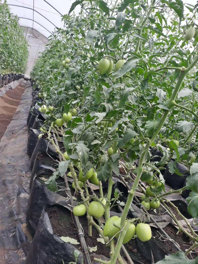 Soilless Tomatoes