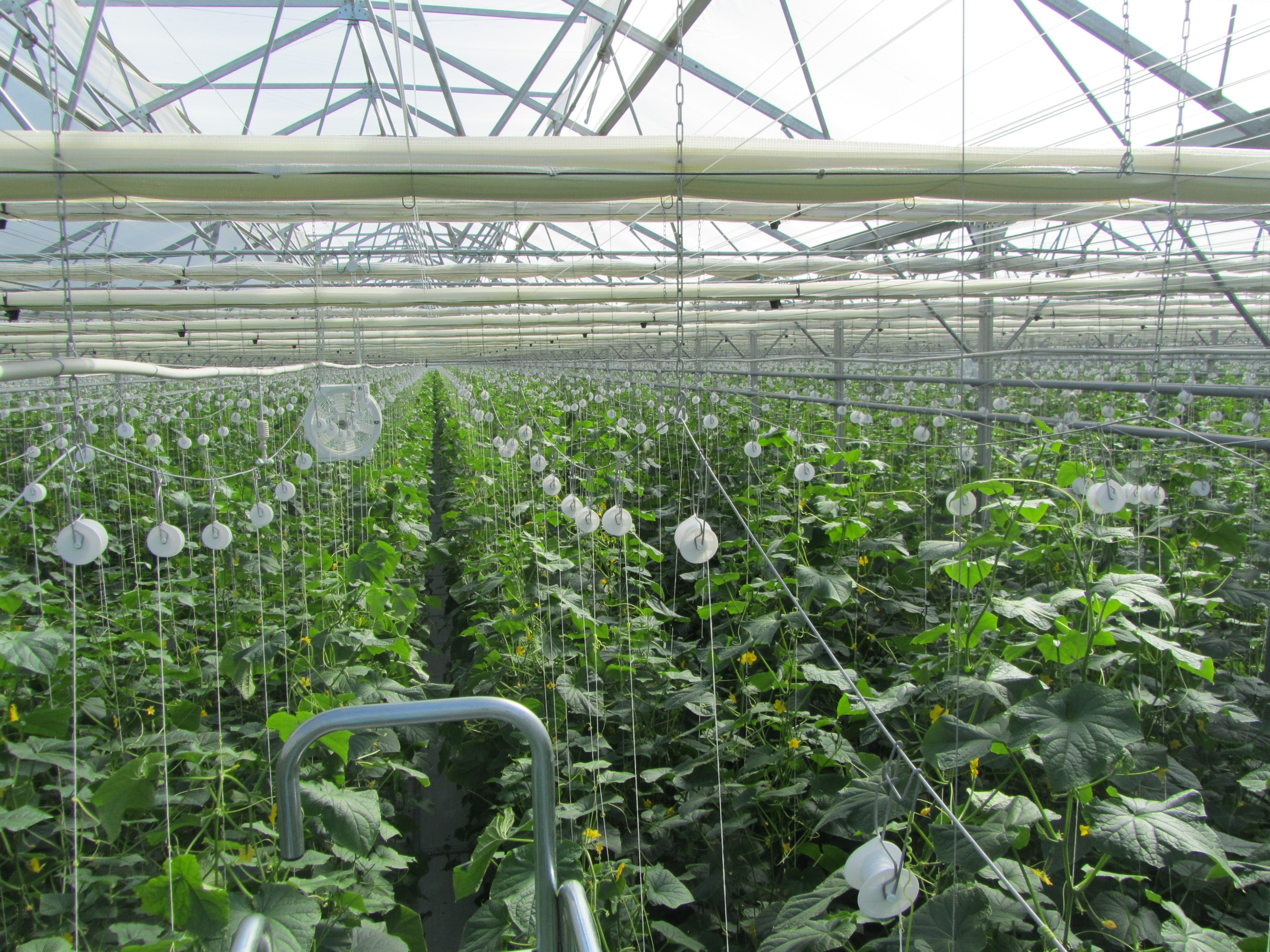 Trellised cucumber plants in a greenhouse