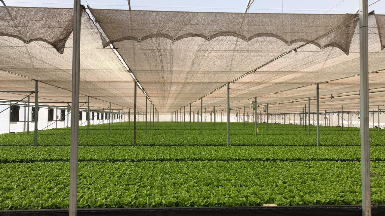 Hydroponic Letuuce in Deep Water Cultivation